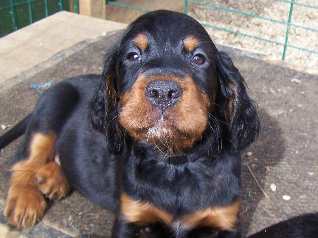 Cocker Spaniel Dogs For Sale In Northern Ireland